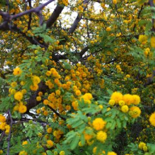 South Texas In The Spring A Huisache Tree In Bloom Greek Flowers Acacia Tree Tree Hugger
