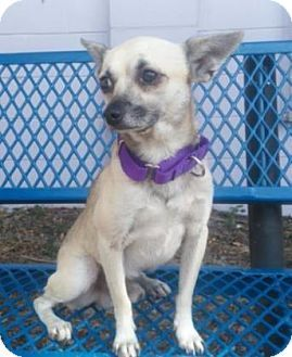 Fort Myers Fl Chihuahua Mix Meet Calhoun A Dog For Adoption
