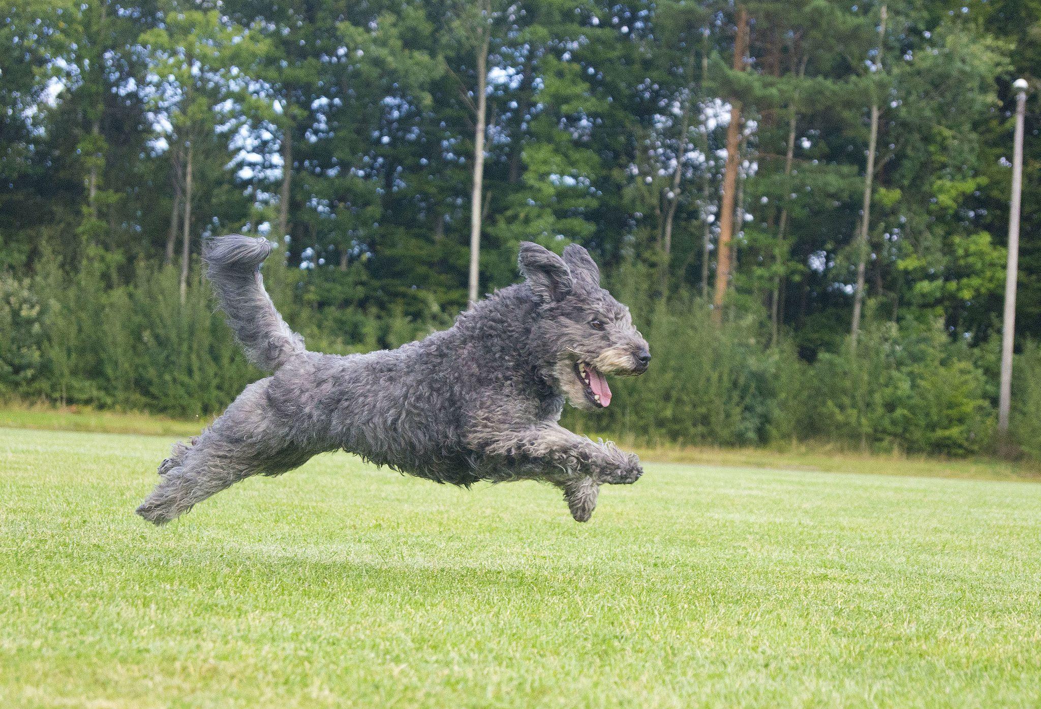 Pumi Jpg 2048 1395 Pumi Hunde Haushund
