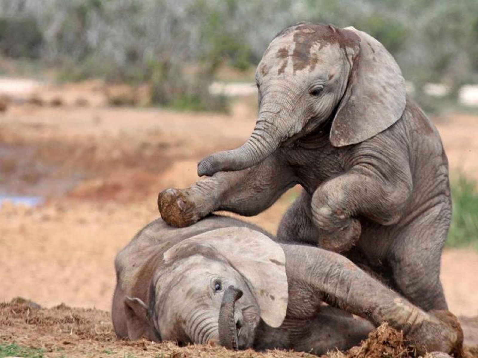 free baby elephant wallpaper animals baby elephants free high
