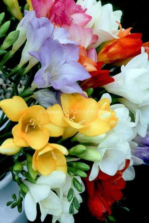 Pin By Maria Elena Arriaza On Buenos Dias Good Morning Freesia Flowers Pretty Flowers Flowers