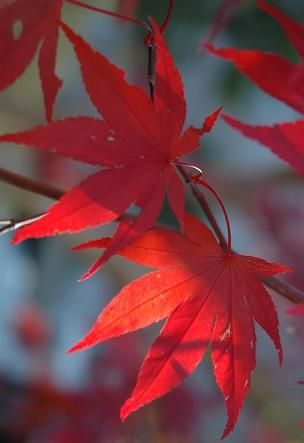 Acer palmatum 'Emperor 1' Japanese Maple Tree #japanesemaple Acer palmatum 'Emperor 1' Japanese Maple Tree #japanesemaple