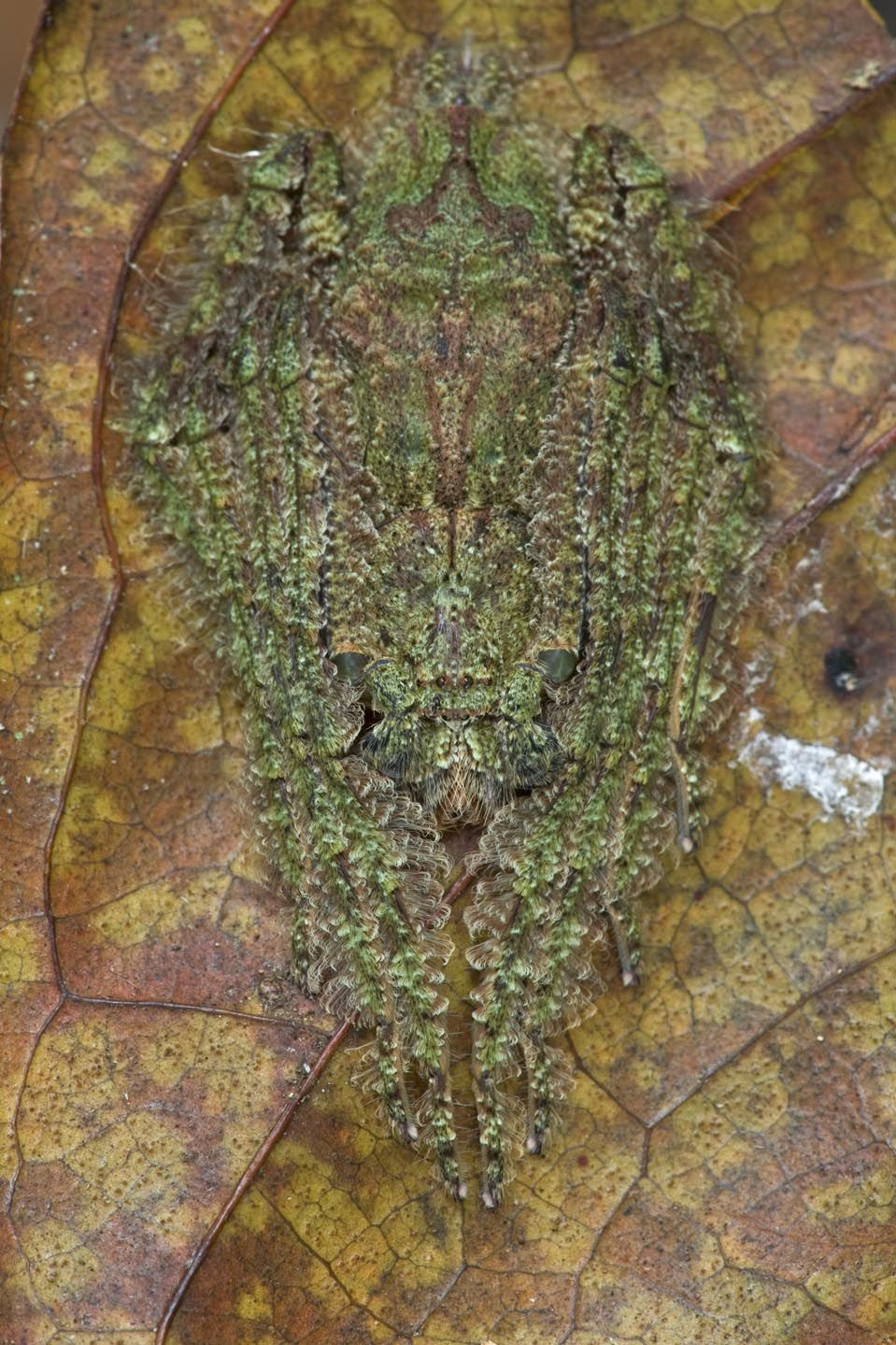 unnamed spider, an example of a lichen mimic, West Africa