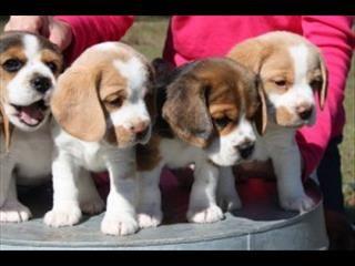 Beaglier Cavalier Mix Beagle Cute Animals Cute Puppies Beagle Puppy
