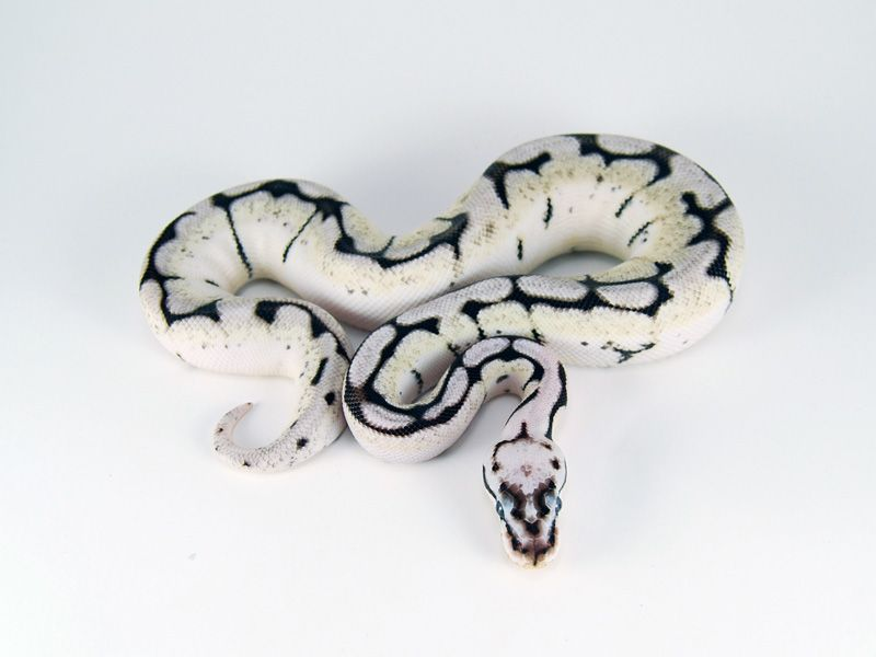 Axanthic Bumble Bee Ball Python While Iris Is All About