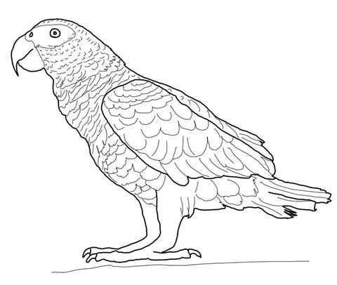 African Gray Parrot Coloring Page African Grey Parrot Parrots