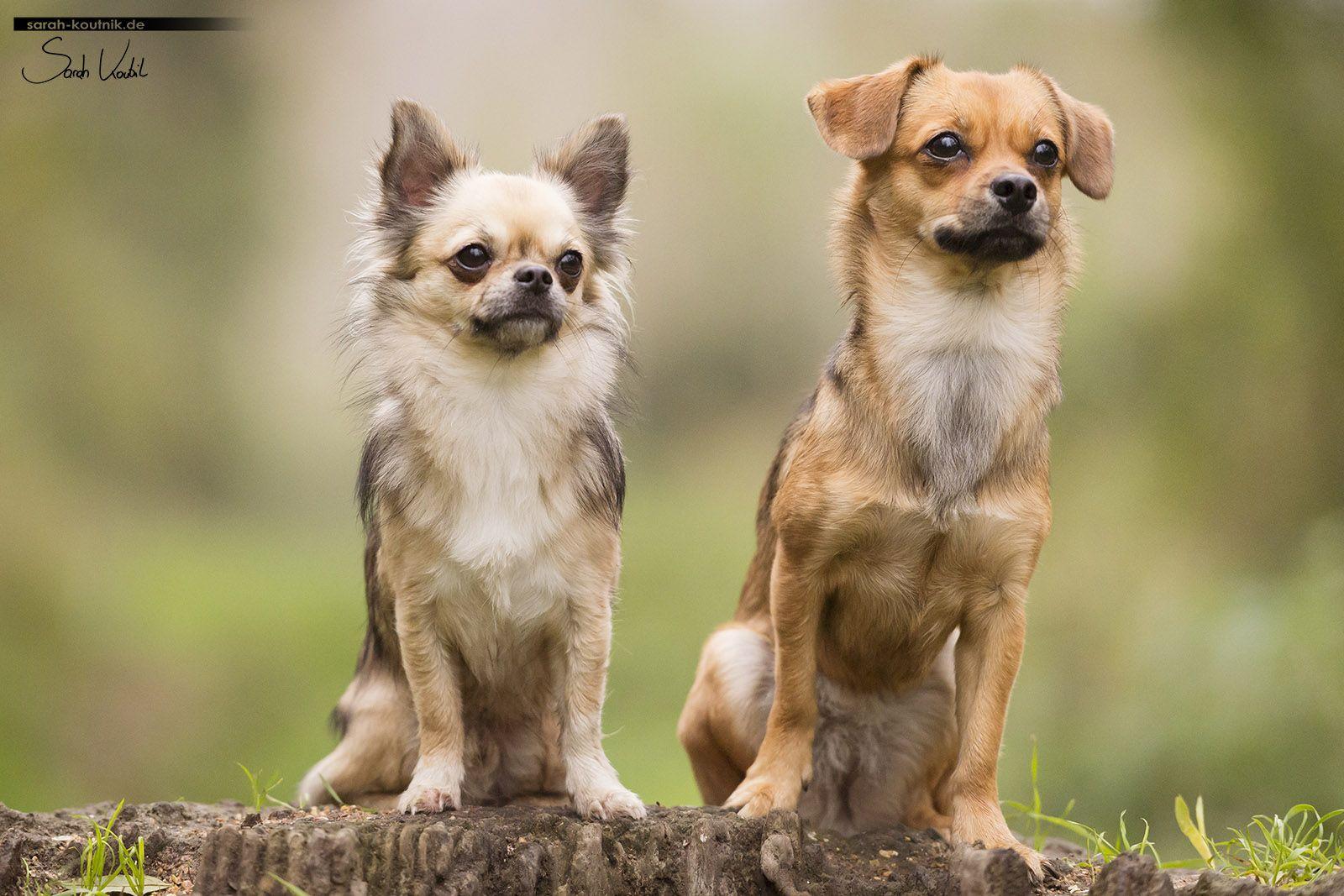 Noel Und Gismo Grosse Charaktare In Kleinen Hunden Chihuahua Hundefotos Kleine Hunde