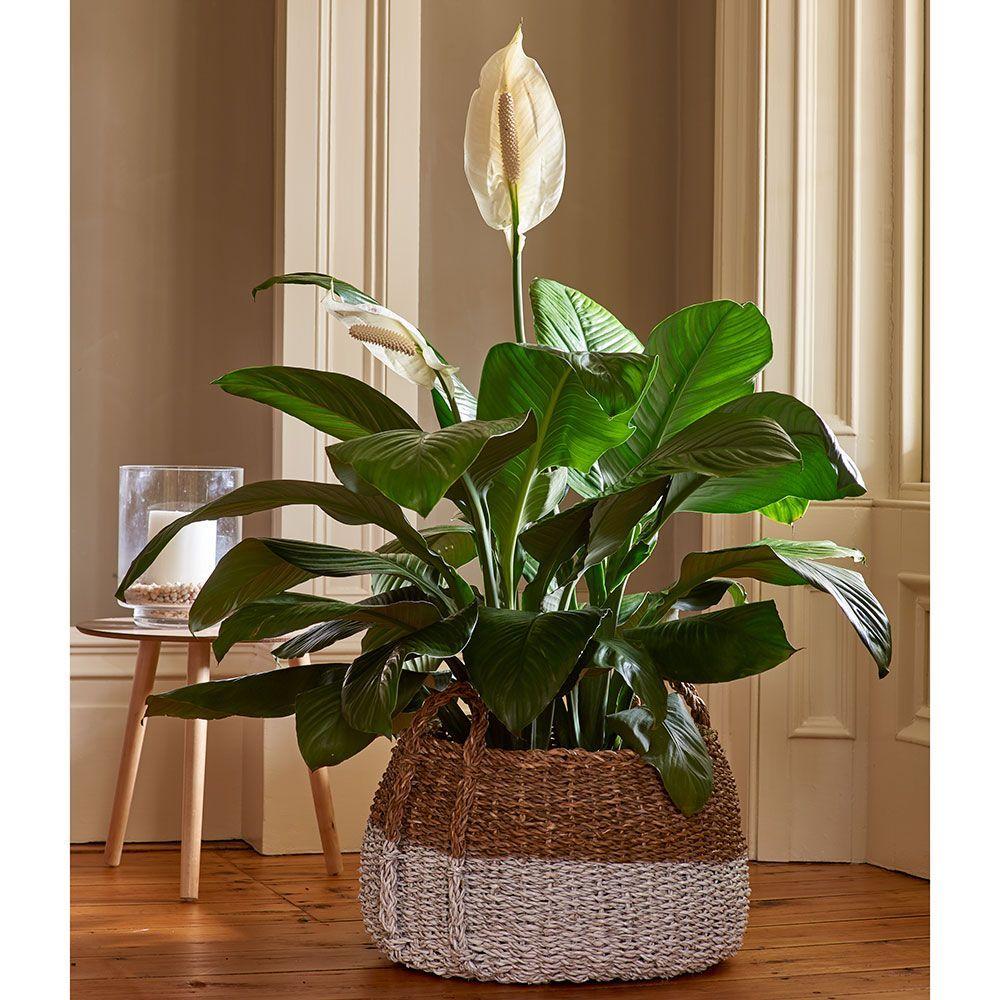 Peace lily sensation house plants decor plant decor