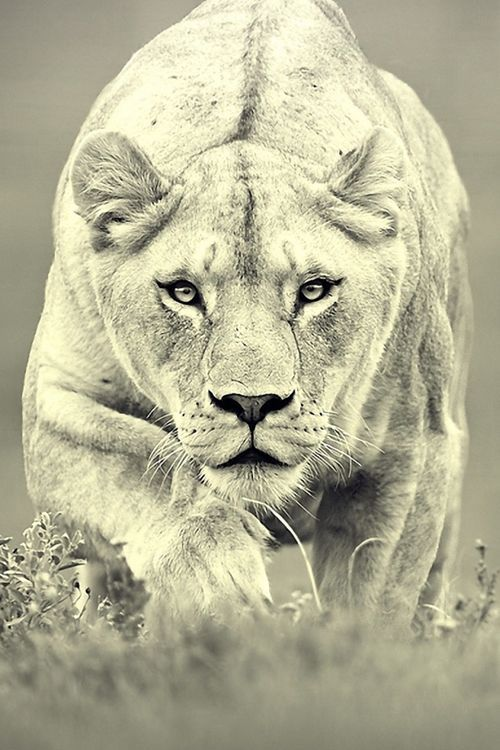 Roar... (animals,photography,animal pictures,lioness,black and white)