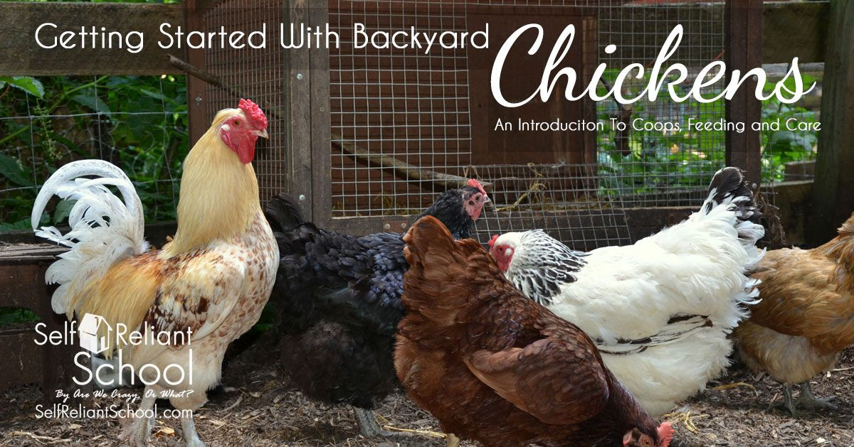 An Introduction To Caring For Chickens | Chickens backyard ...