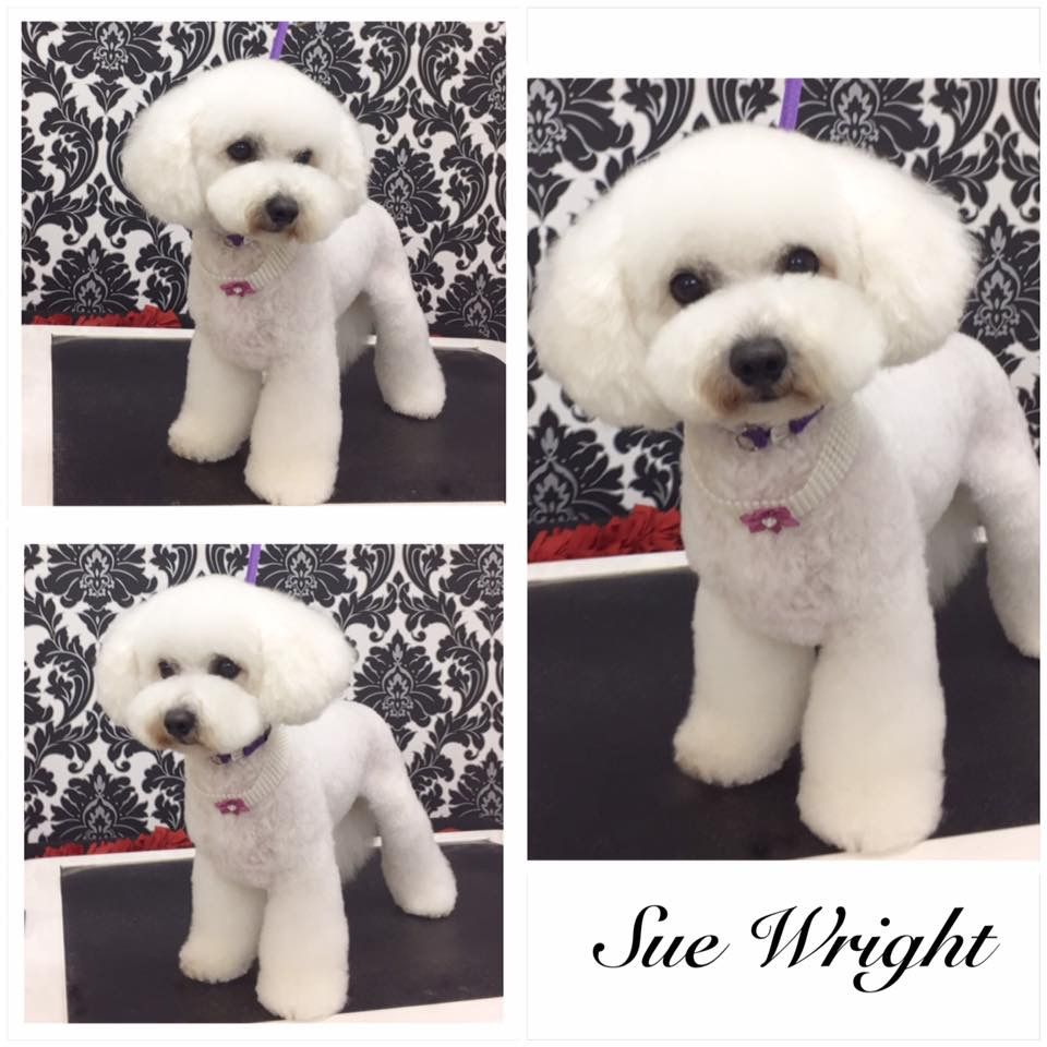 Asian fusion dog grooming. Asian influenced dog grooming. Asian influenced Bichon. Styled by Sue Wright | Dog grooming styles. Pet grooming. Dog ...