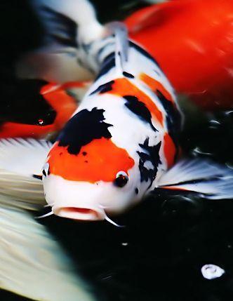 Pin By Terry Santokie On Koi Koi Koi Goi Koi Koi Fish Japanese Koi