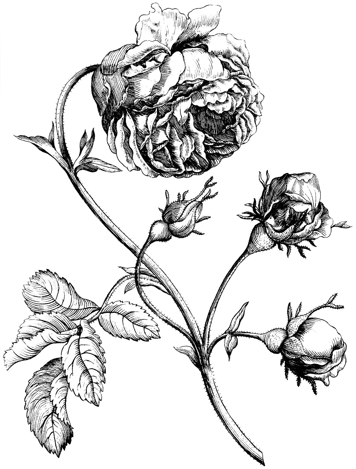 Old Rose Engraving Image Beautiful Graphics Fairy Floral