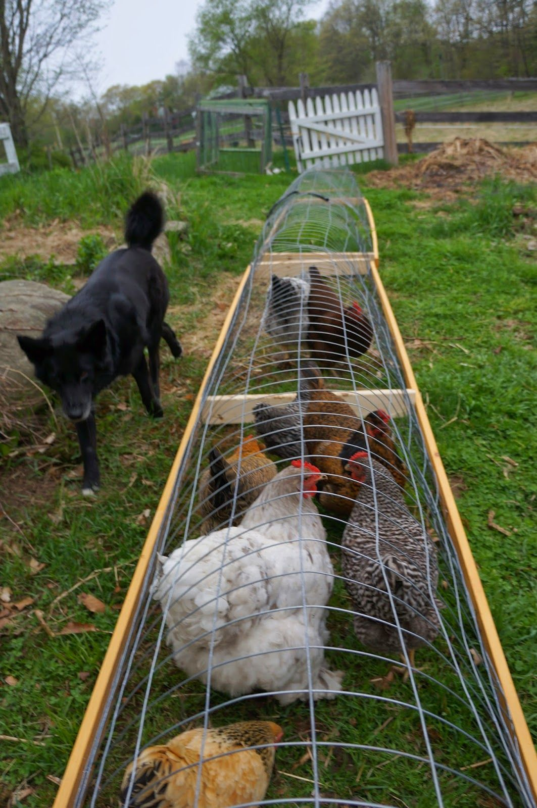 The Backyard Farming Connection: Garden Update: Chicken Tunnels