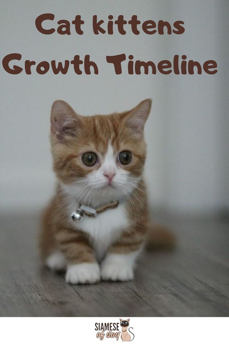 Siamese Kittens Growth Timeline The Siamese Kitten Is Born Completely White And As They Age Their Coat Colour Starts In 2020 Siamese Kittens Cats And Kittens Kittens