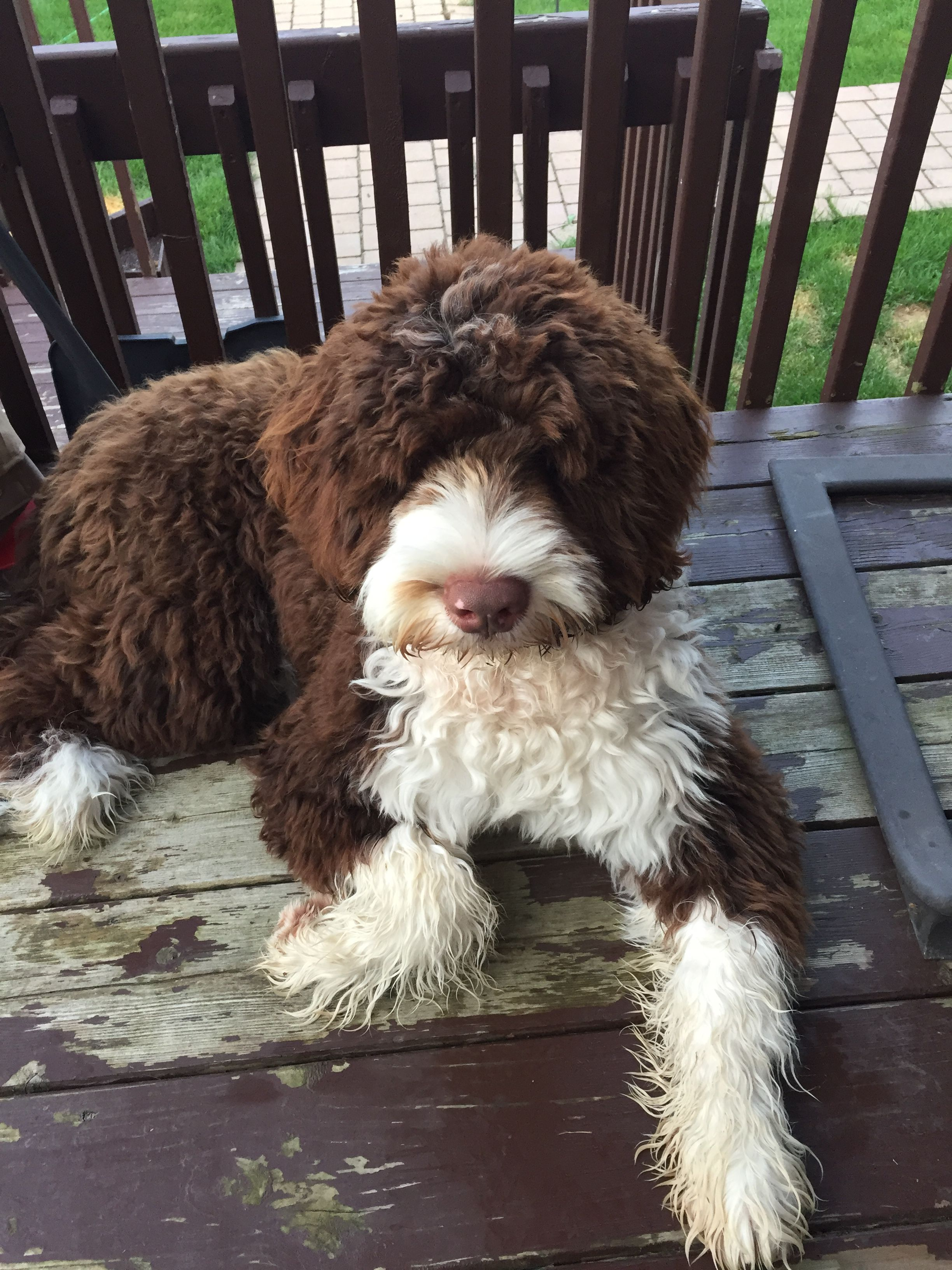 Pin By Brigitte Deck On Animal Portuguese Water Dog Portugese