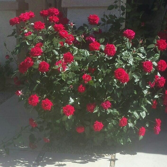 Hermosas Rosas !
