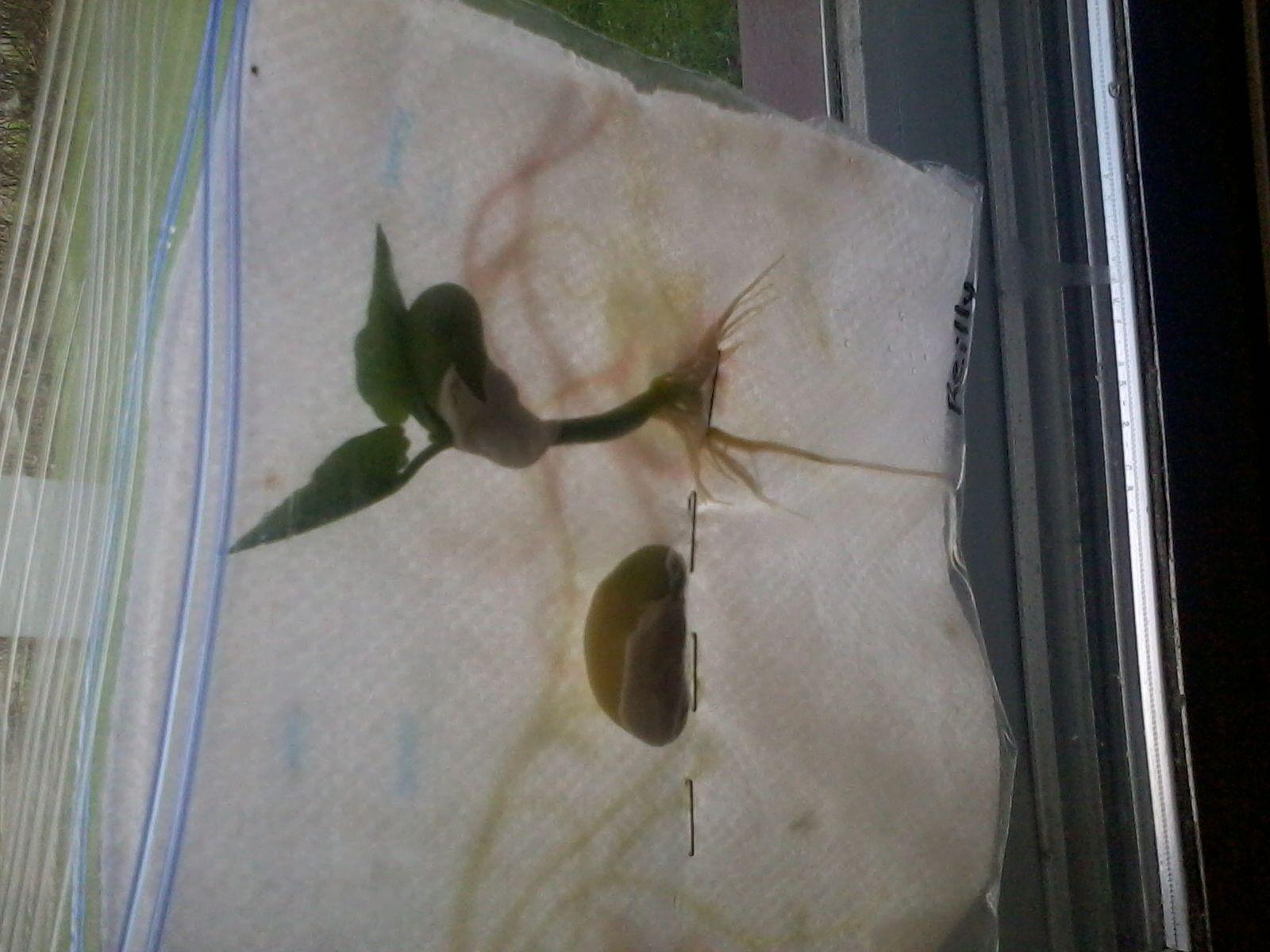 Lima Bean Germination Ziplock Bag Paper Towel Spray