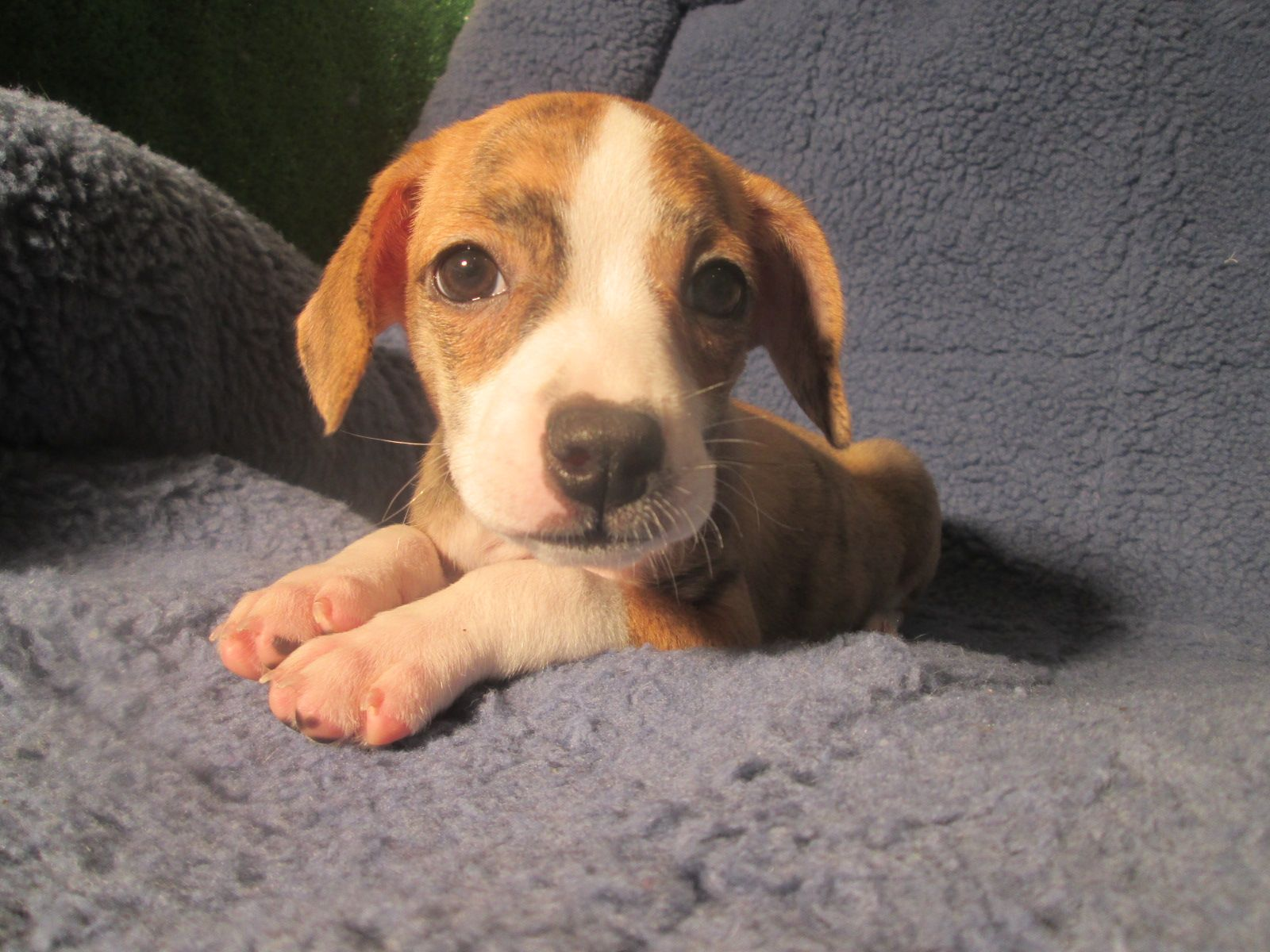 Adorable Boglen Terriers Available Beagle X Boston Terrier 8