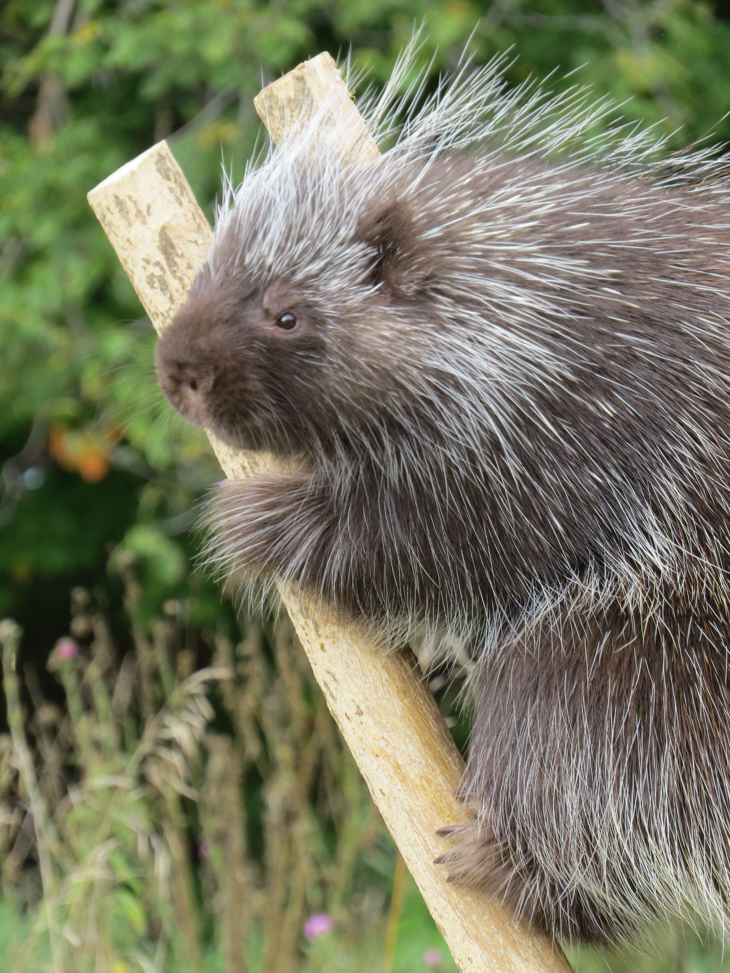 porcupine by Patty McQuiston
