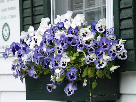 Stunning Spring Pots Urns Omg Lifestyle Blog Container Flowers Flower Boxes Pansies