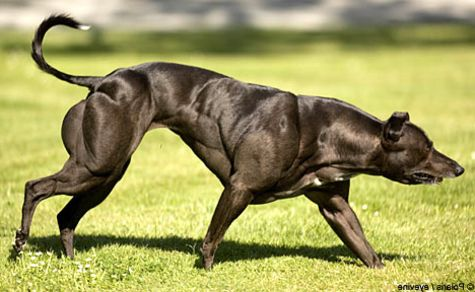 14+ Muscle whippet ideas
