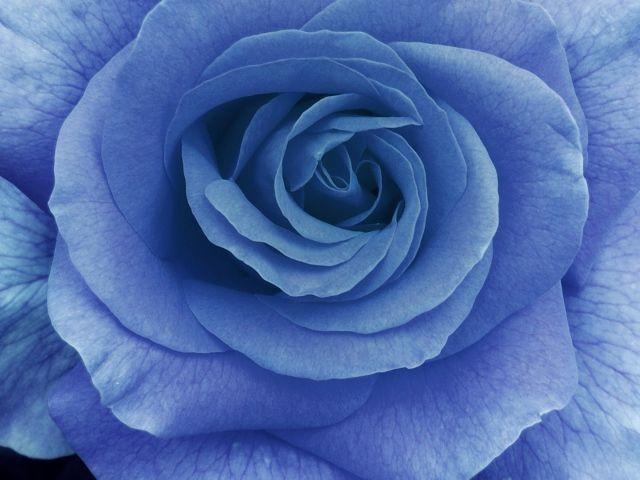 Big blue rose on a dark blue background color blue - Big rose flower wallpaper ...