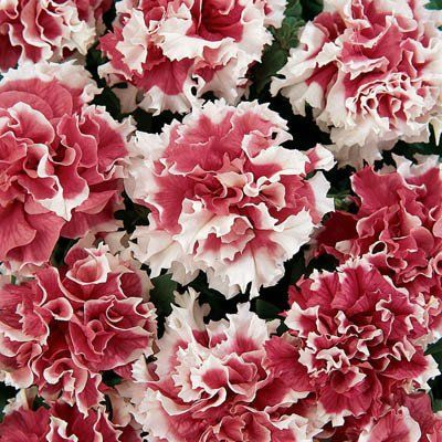 Petunia hybrida Big Time F1 Red Benary