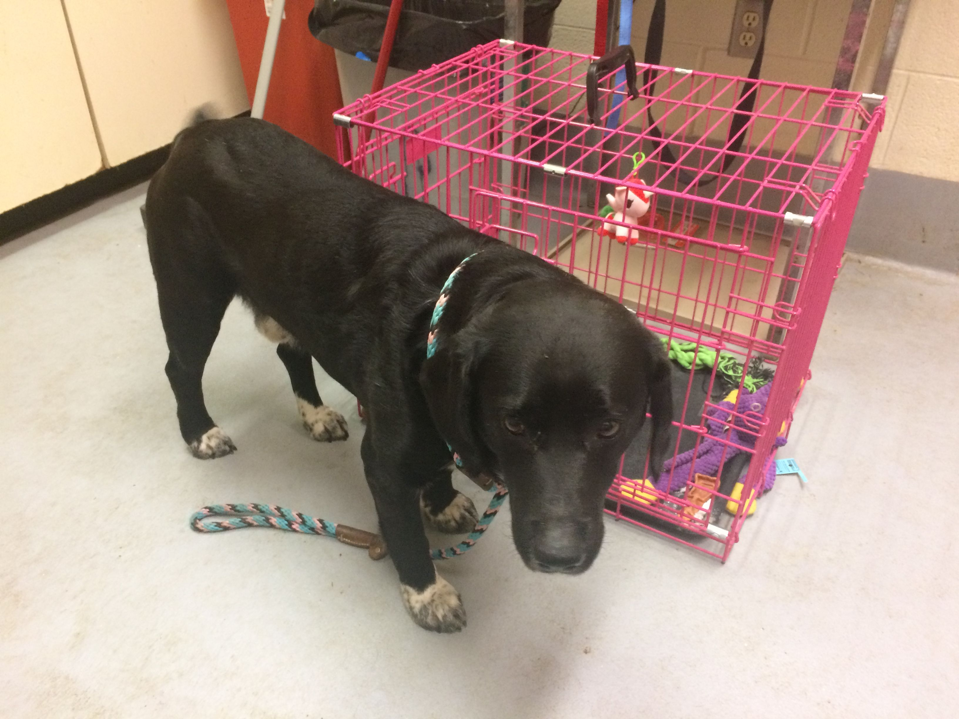 Labrador Retriever dog for Adoption in Beckley, WV. ADN