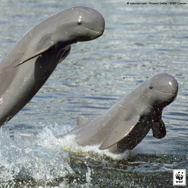 IRRAWADDY DOLPHIN Irrawaddy dolphins are found in coastal