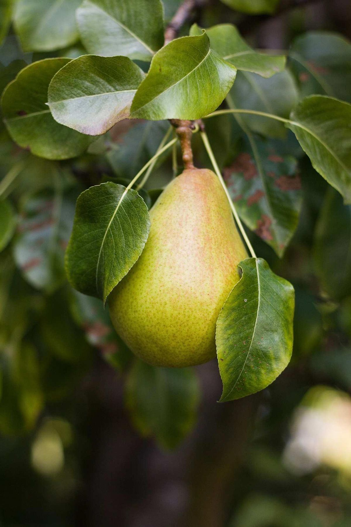 Pin By Pirouetting On Pear Orchard Pear Fruits Photos Fruit