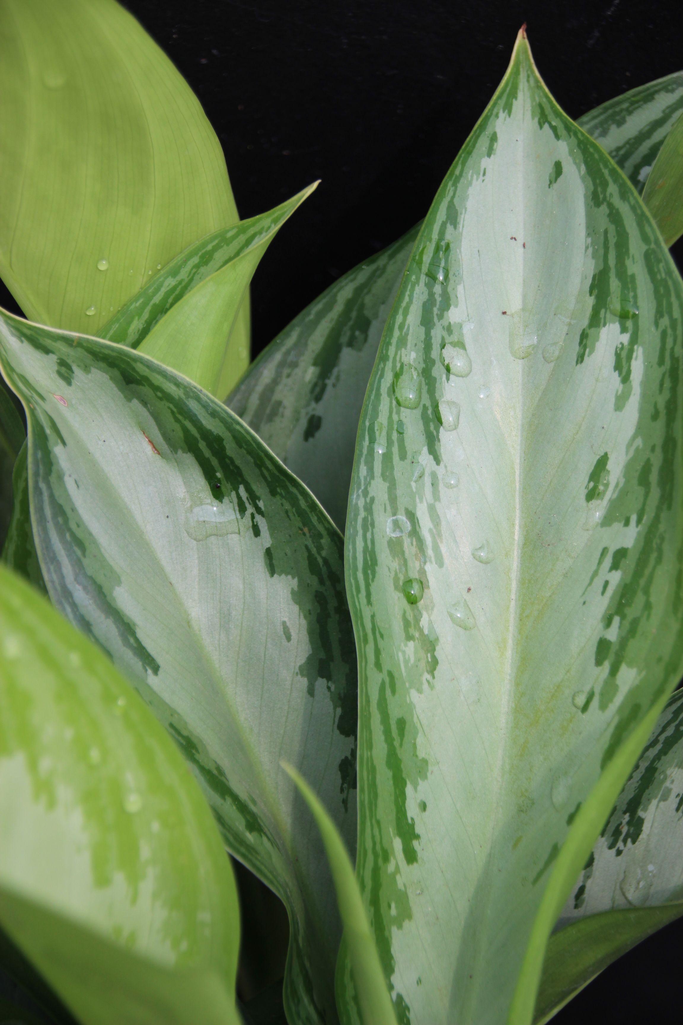 Aglaonema Growing herbs indoors, Plants