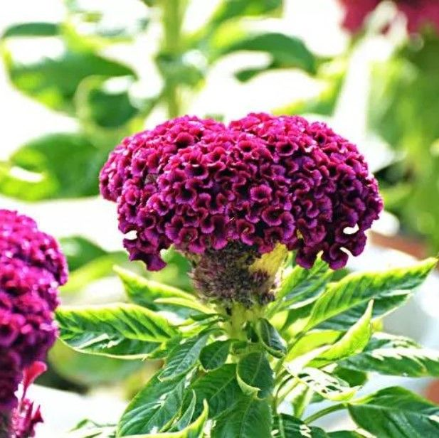 Colorful Cockscomb Flower Seeds Celosia Spicata Seeds 100pcs Pack In 2020 Flower Seeds Bonsai Flower Flowers