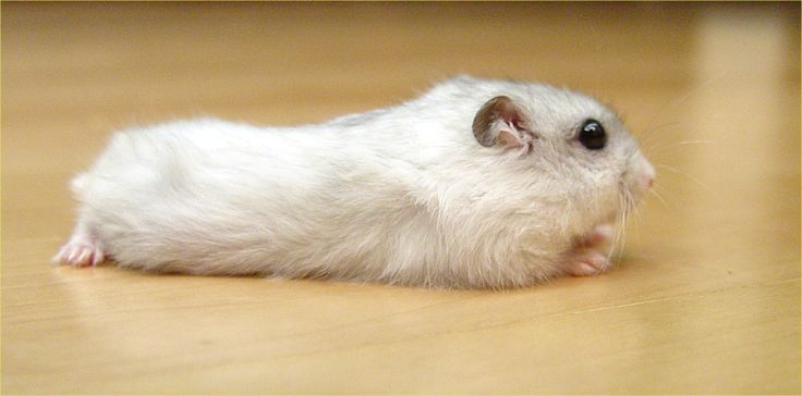 Winter White Hamster Care is a must-known as a owner of a Winter White Hamster.  Winter white hamster are little, delightfully pretty, warm and precious pets. They are also known as D...