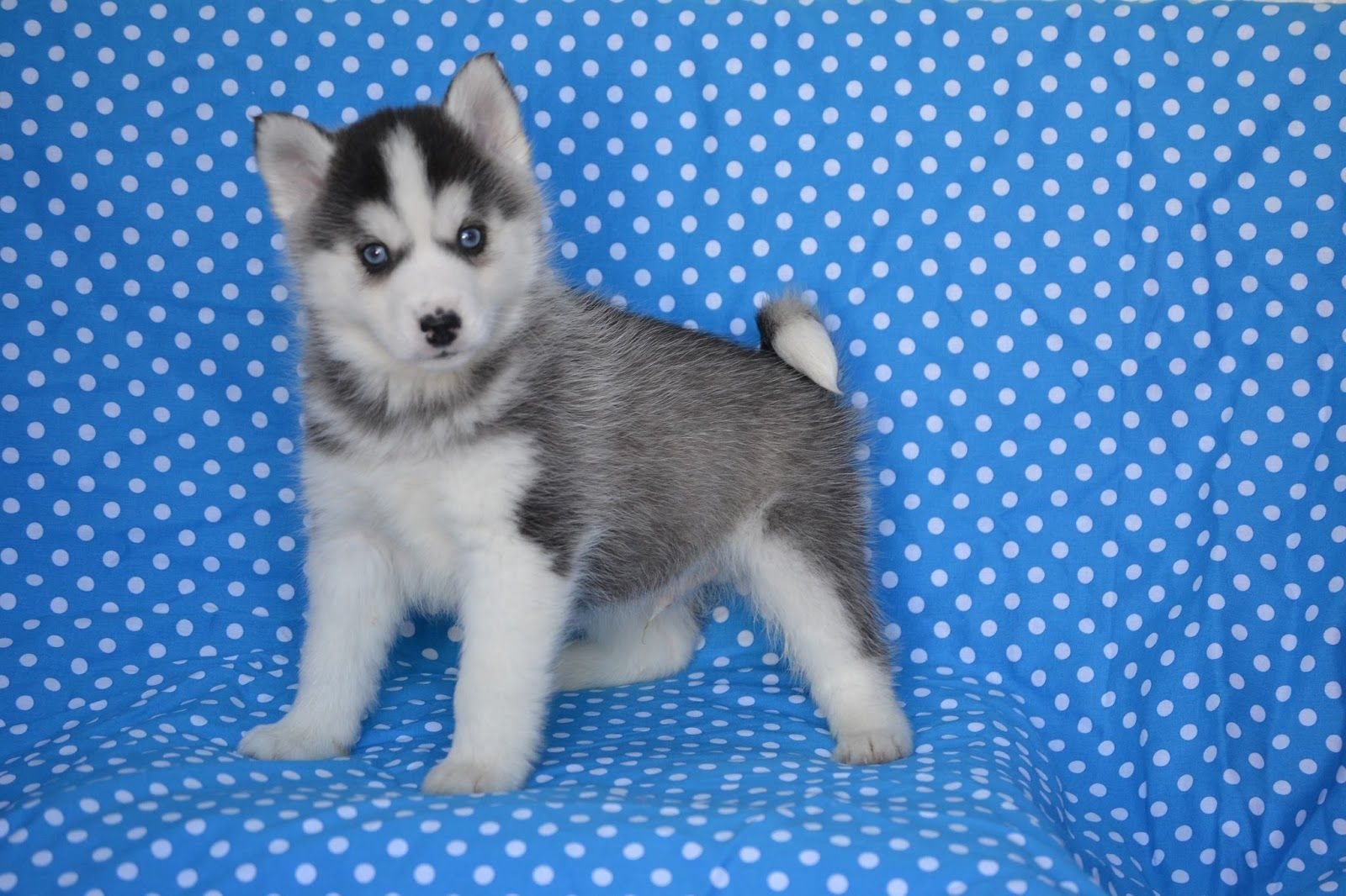 Pomsky Puppies For Sale Pomsky Puppies Pomsky Breeders Pomsky