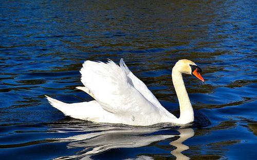 99 - Cisne