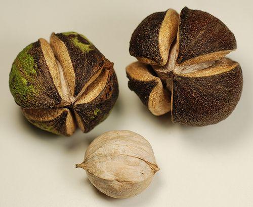 Shagbark Hickory Nut Gyümölcsfák, Fűszerkert, Konténeres Kertészet, Magvak, Virágok, Növények