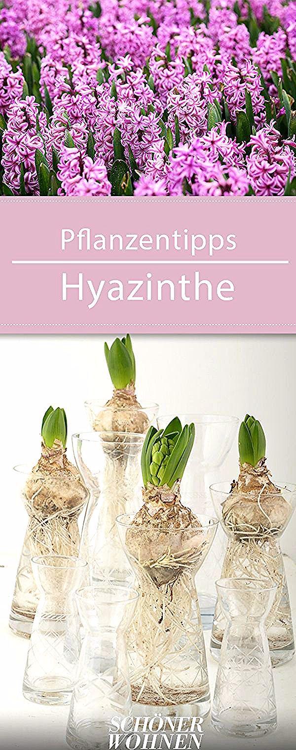 #pflanzen #hyazinthe #pflanzentipps