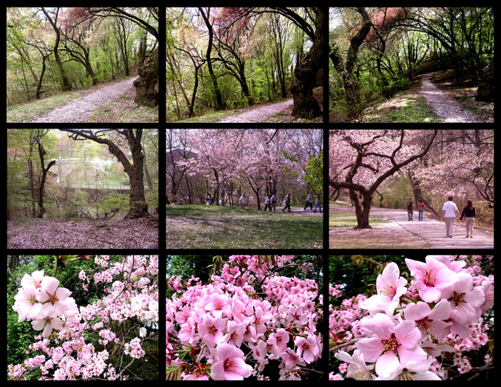 Remembering Cherry Blossoms At Branch Brook Park Newark Nj On Earth Day Of 2020 Ingpeaceproject Com Cherry Blossom Brook Park Cherry Blossom Festival