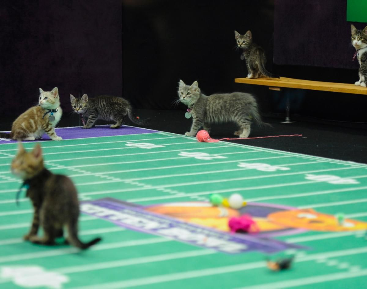 Kitten Bowl Photos Behind The Scenes At The Kitten Bowl Kitten Bowls Cats And Kittens Kittens