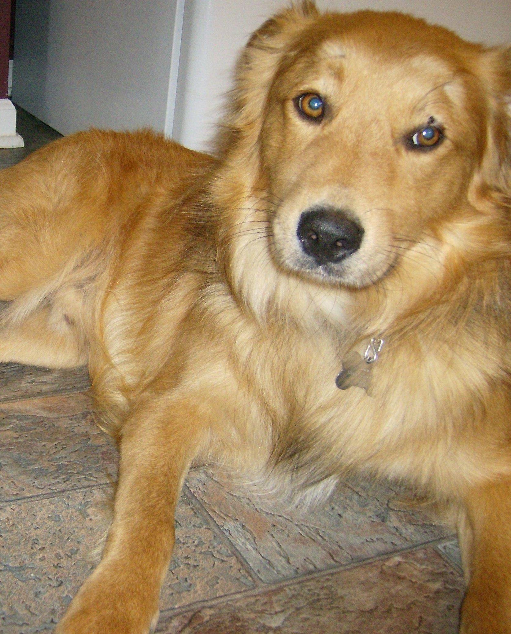 Golden Lab Shepherd Collie Puppy Mix By Teamworks Dog Training Neuse River Golden Retriever Rescue Golden Retriever Retriever Mix Golden Retriever Mix