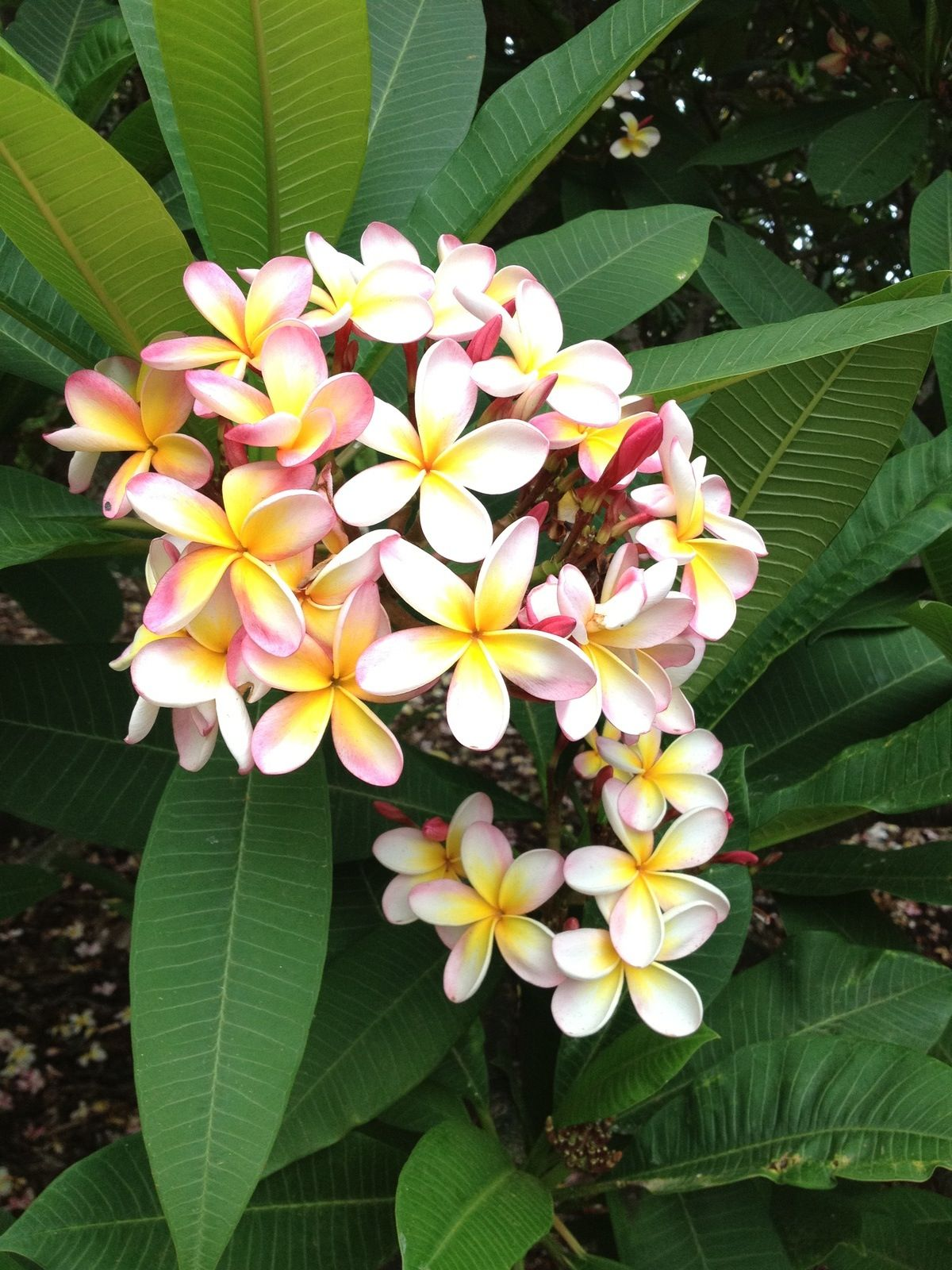 Tropical Flower On Koh Samui Thailand: Plumeria Flowers, Tropical