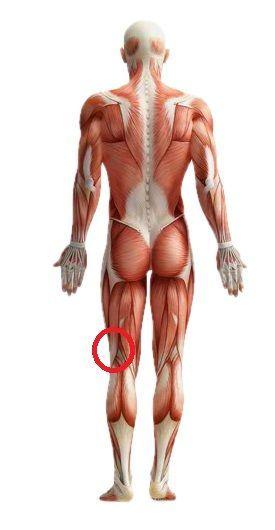 Mięsień dwugłowy uda • Kontuzja z przemęczenia AF ↂ | Anatomía
