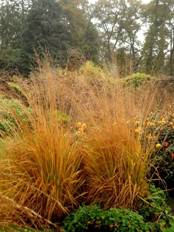 Molinia caerulea ssp arundinacea karl foerster autumn for Wild grass gardens