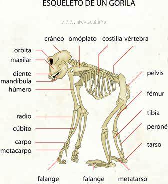 Esqueleto de un gorila | Human and animal bodies in school ...