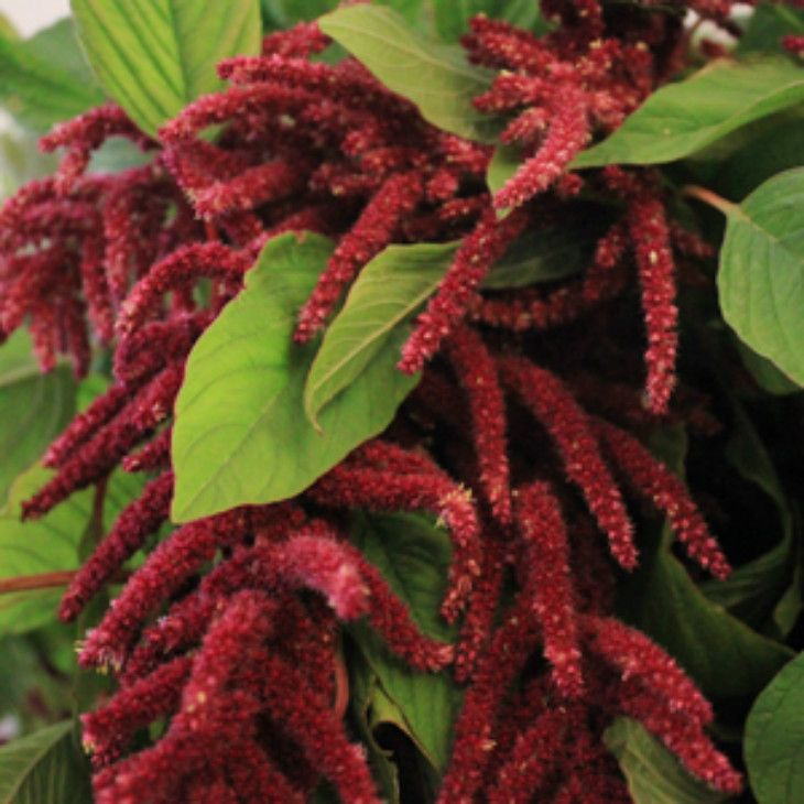 Amaranthus caudatus or more commonly known as love-lies-bleeding (which name is better?)
