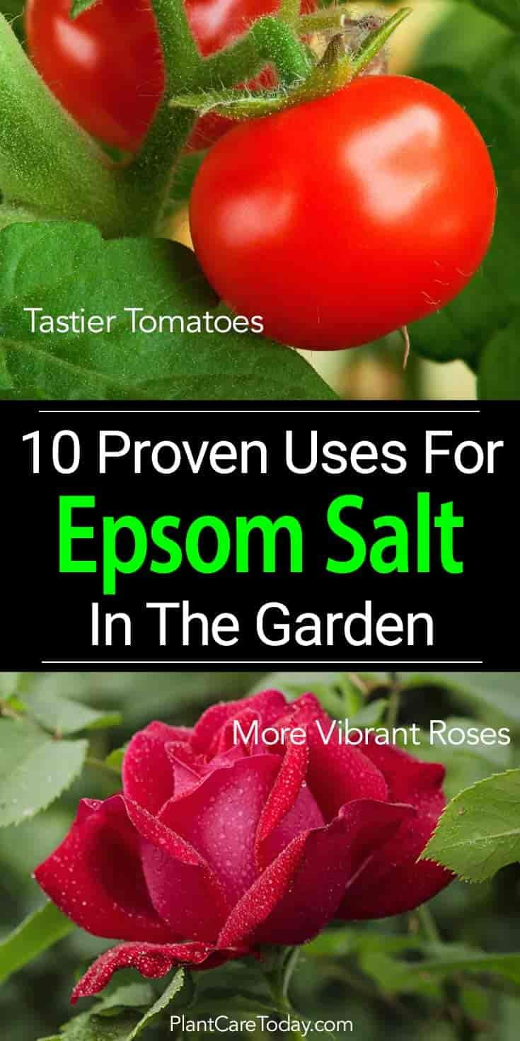 10 Proven Uses For Epsom Salt In The Garden is part of Home vegetable garden - Using Epsom salt in the garden has been a  secret  for many gardeners  Cost effective, answers many organic gardening needs, affordable, easy on plants
