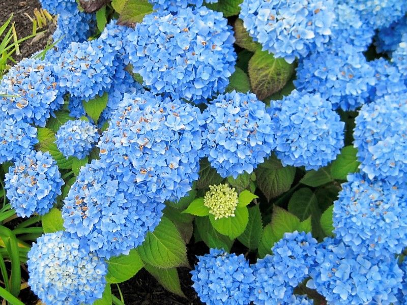Hydrangeas are never more vibrant than at the cape house