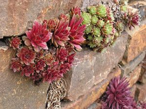 Succulents Growing Out Of Rock Wall Have To Try This Rock Wall