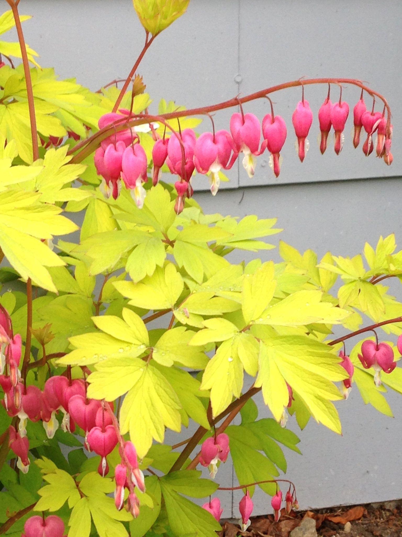 Yellow Leaf Bleeding Heart From My Garden Bleeding Heart Yellow Leaves Flowers